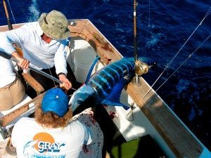 catching a striped marlin off the coast of hawaii