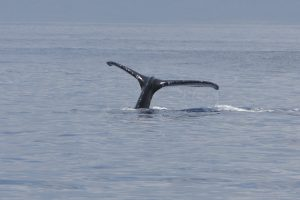 """Humpback Whale"" by mrmoorey is licensed under CC BY-ND"