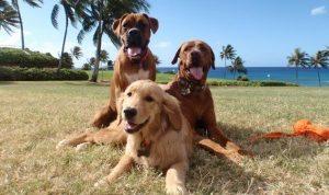 Hawaii-Travel-Dog