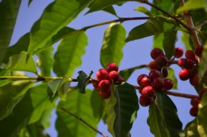 """Kona coffee cherries (DSC_4713)"" by thtbln is licensed under CC BY-SA"