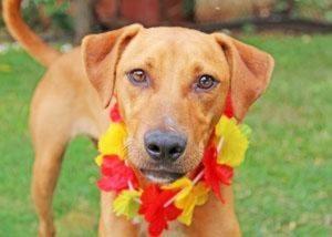 hawaii-dog-lei