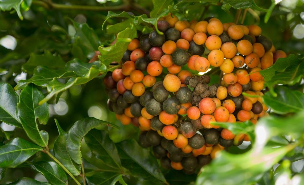 Bunch of red and green Hawaiian Kona Red coffee beans on branch in plantation in Kauai Hawaii