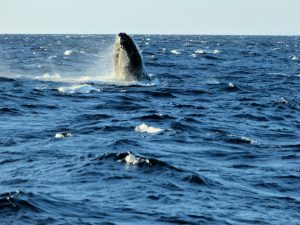 """Whale Head Bob Maui Maalaea Bay Harbor"" by Sue Salisbury Maui Hawaii is licensed under CC BY"