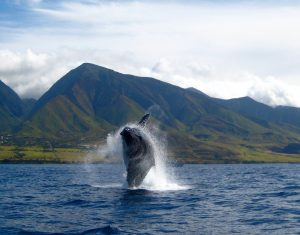 """Whale watch Maui"" by backofthenapkin is licensed under CC BY-SA"
