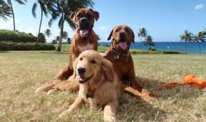 Hawaii-Travel-Dog